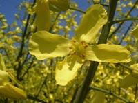 アブラナ科の花