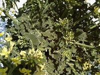 アブラナ科の葉っぱ