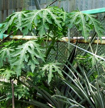 温泉水寿鶴の源泉で育てたパパイヤ