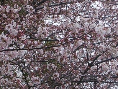 桜−高蔵幼児園