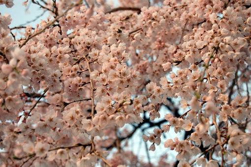 綾川町枝垂れ桜