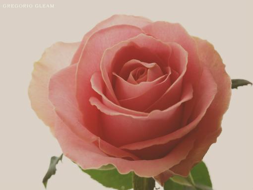 10月24日のバラ