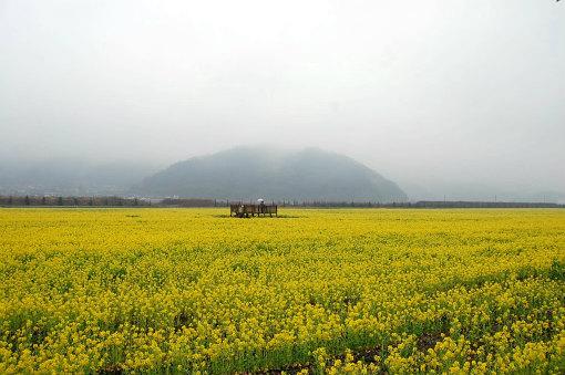 笠岡菜の花畑