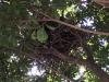 南公園カラスの巣(拡大)