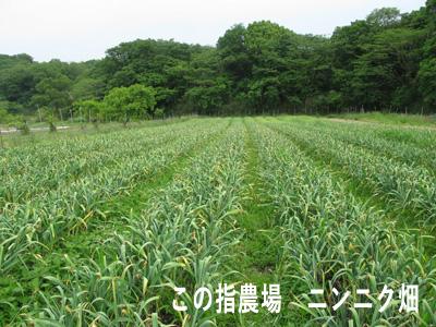 ニンニク畑.JPG