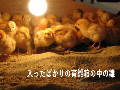 入ったばかりの雛?(育雛箱).JPG