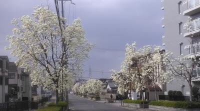 こぶしの街路樹