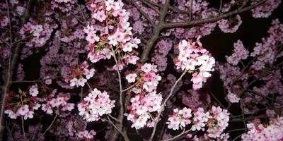 桜 さくら 春爛漫