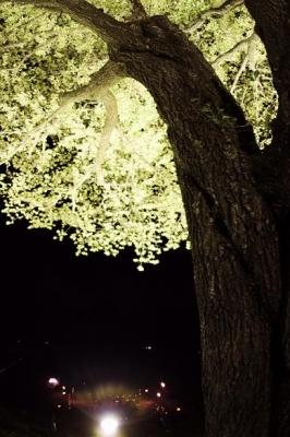 夜桜音楽会