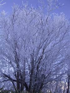 厳冬の霧氷。