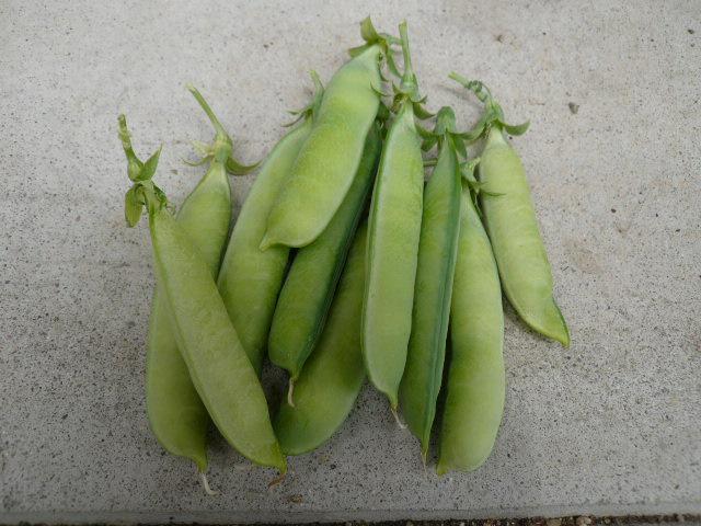 エンドウ豆収穫