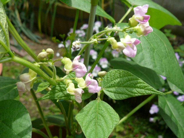 インゲンの花
