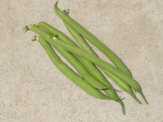 インゲン豆収穫