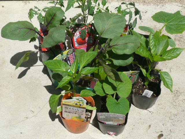 2014野菜苗