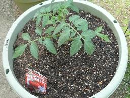 14ミニトマト1