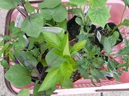 野菜苗15
