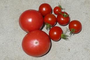 トマト15