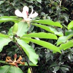 コーヒーココア.net 泰山木