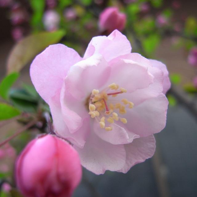 今年の街道桜