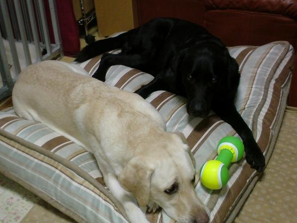 コストコの犬用ベッド