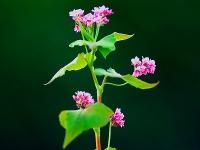 鹿追の蕎麦の花