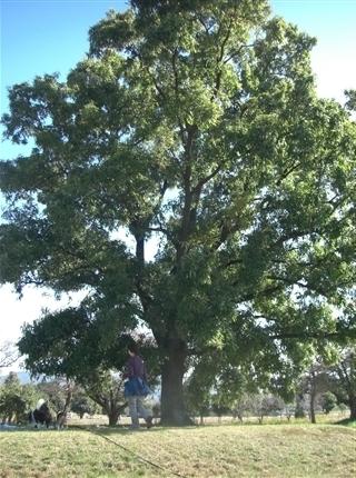 大きな木の下