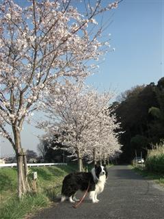 桜並木のアッシュ