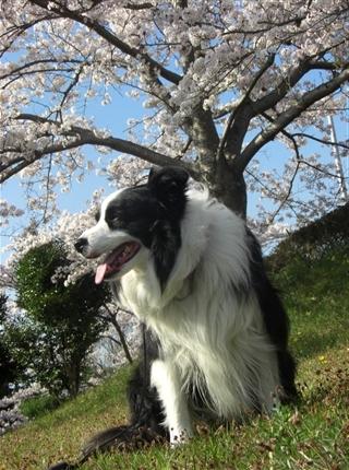桜の木の下のアッシュ
