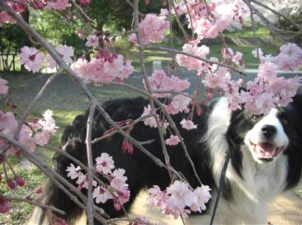 枝垂桜アッシュ