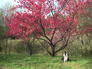 赤い花の木の下で