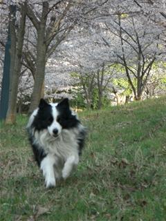 桜並木で走る