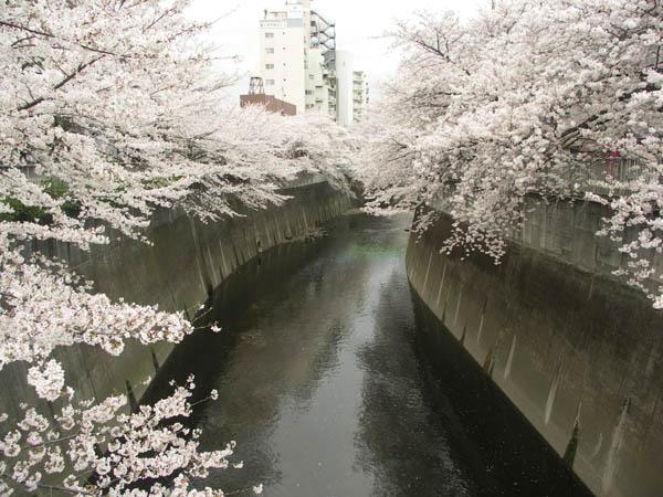 面影橋の桜1