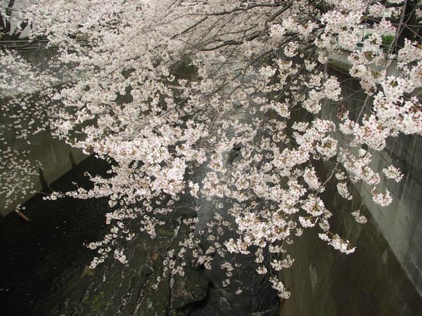 面影橋の桜2