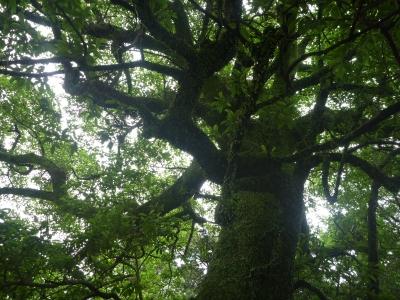 速玉大社のオガタマの木