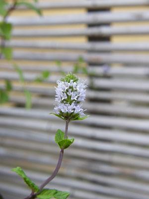 ブラックミントの花
