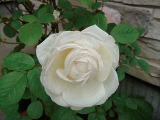 2008年7月白薔薇