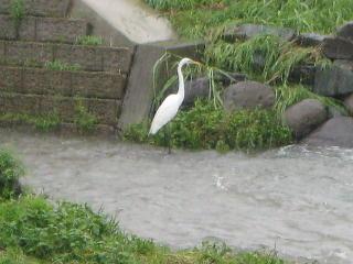 小石原川のダイサギ
