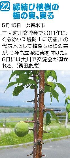 縁結びの梅の実実る