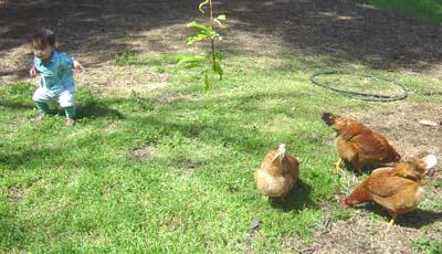 chickendance