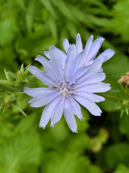 キクニガナ チコリ 淡いブルーの菊みたいな花