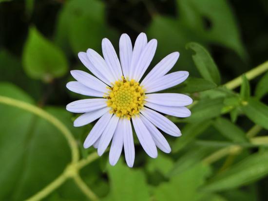 ヨメナ 白い野菊 マーガレットに似てるが葉が違う