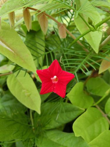 ルコウソウ 赤い星形の小さな花 葉が細いクシ状
