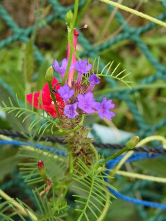 ルコウソウと紫の小さい花 葉が細い つる