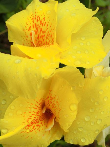 カンナ 道ばたに咲く黄色の花 大型でビラビラの花弁 葉が大きくツルツル