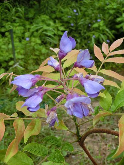 ニワフジ 庭藤 紫の豆科系の花 葉が羽状復葉 低木
