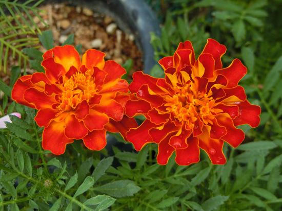 マリーゴールド 赤 花びらが縮れた派手な赤い菊みたいな