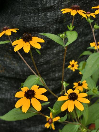 ルドベキア・トリロバ 'タカオ'  黄色い花 花の中心が黒く盛り上がる