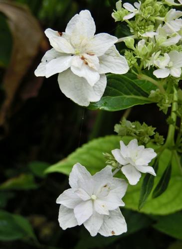 白いアジサイ 8月のアジサイ 紫陽花の仲間
