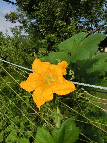 カボチャの花 南瓜 花弁が5つの黄色い花 花びらに細かい毛