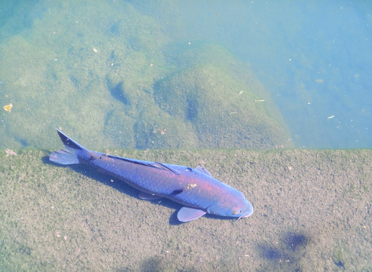 鯉 コイ 輝く鯉 紫色に光る魚 自然の鯉